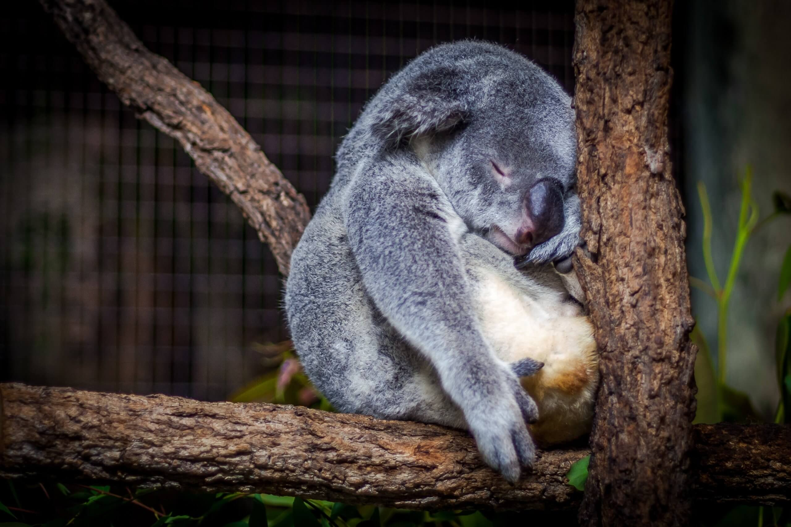 Koala asleep on a branch
